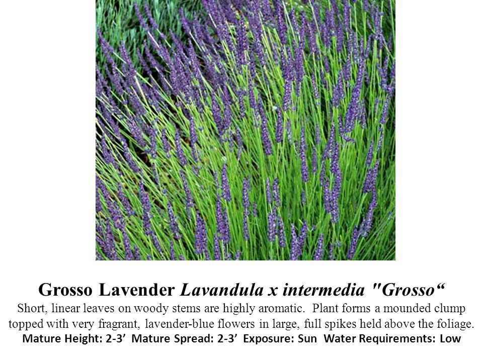 Grosso Lavender Lavandula x intermedia