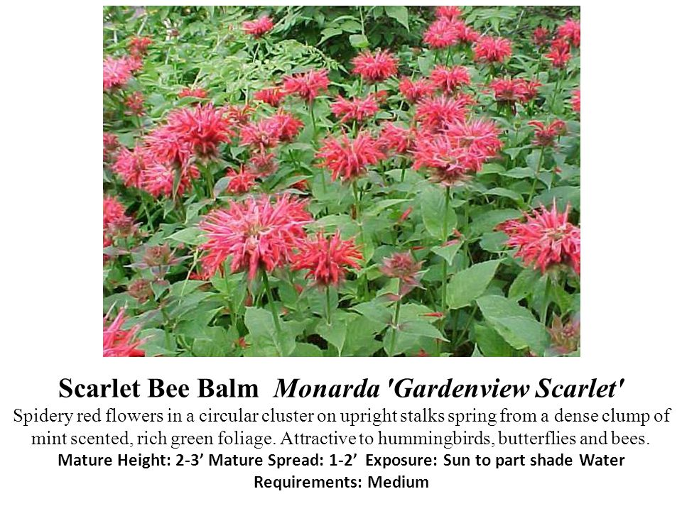 Scarlet Bee Balm Monarda 'Gardenview Scarlet' Spidery red flowers in a circular cluster on upright stalks spring from a dense clump of mint scented, r