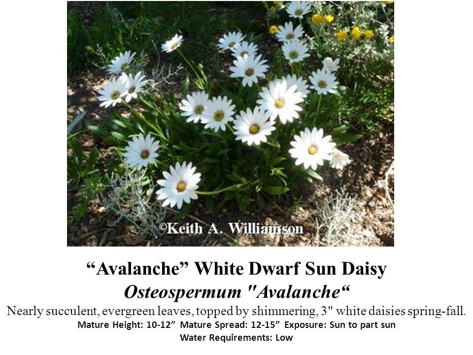 Avalanche White Dwarf Sun Daisy Osteospermum