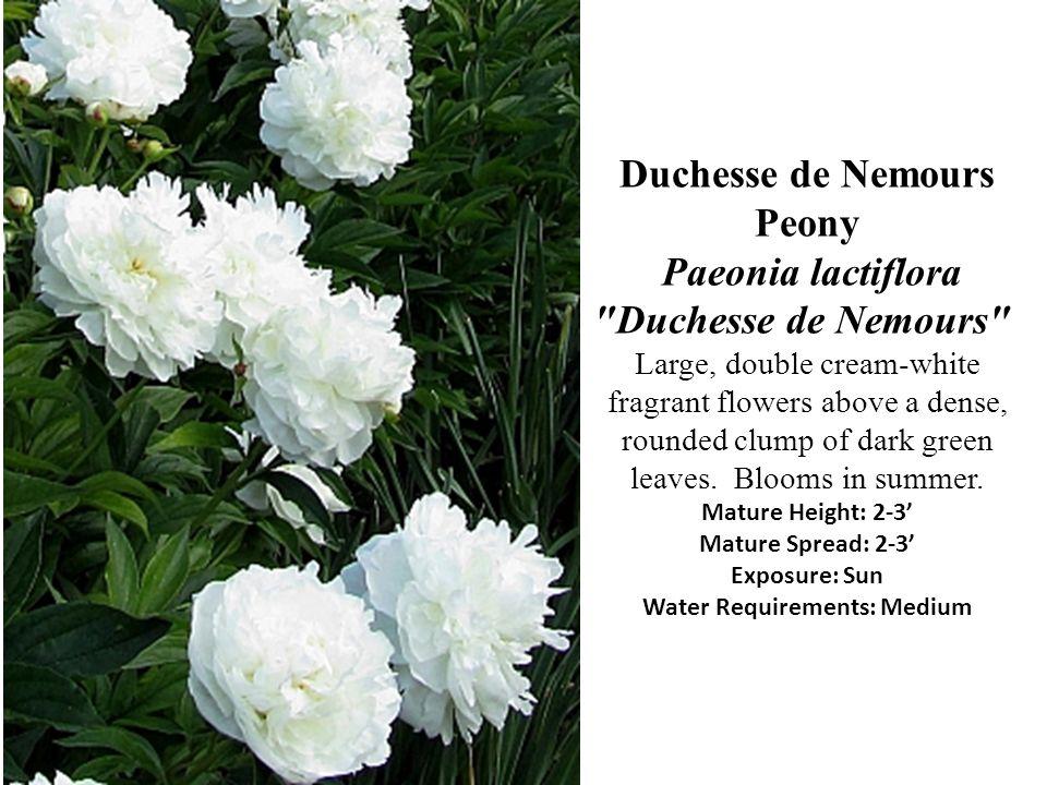 Duchesse de Nemours Peony Paeonia lactiflora