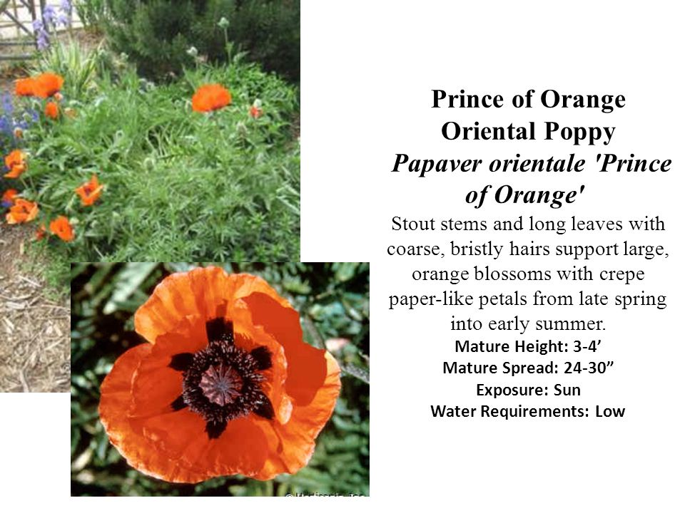 Prince of Orange Oriental Poppy Papaver orientale 'Prince of Orange' Stout stems and long leaves with coarse, bristly hairs support large, orange blos
