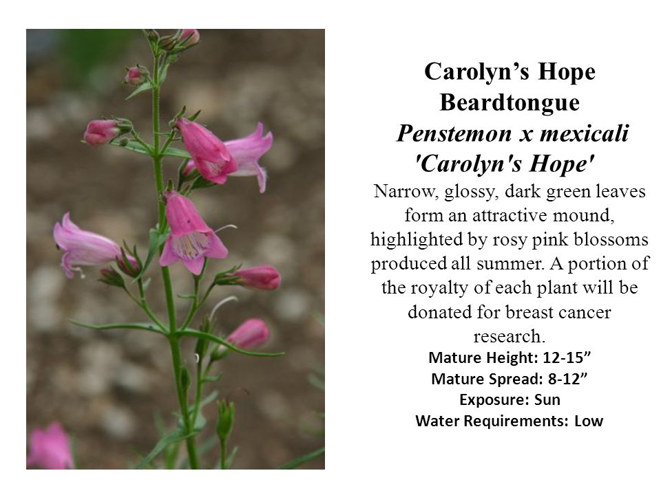 Carolyns Hope Beardtongue Penstemon x mexicali 'Carolyn's Hope' Narrow, glossy, dark green leaves form an attractive mound, highlighted by rosy pink b