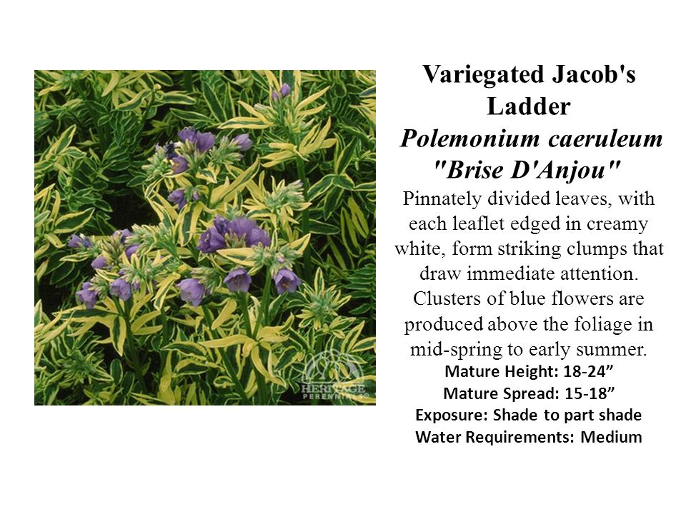Variegated Jacob's Ladder Polemonium caeruleum
