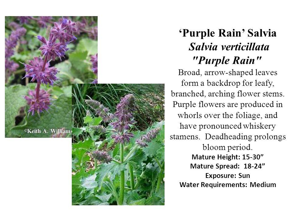 Purple Rain Salvia Salvia verticillata