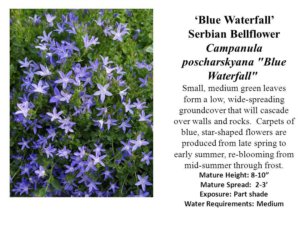 Blue Waterfall Serbian Bellflower Campanula poscharskyana