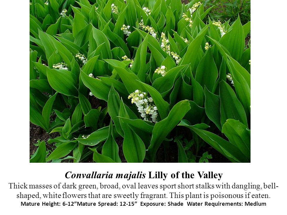 Convallaria majalis Lilly of the Valley Thick masses of dark green, broad, oval leaves sport short stalks with dangling, bell- shaped, white flowers t
