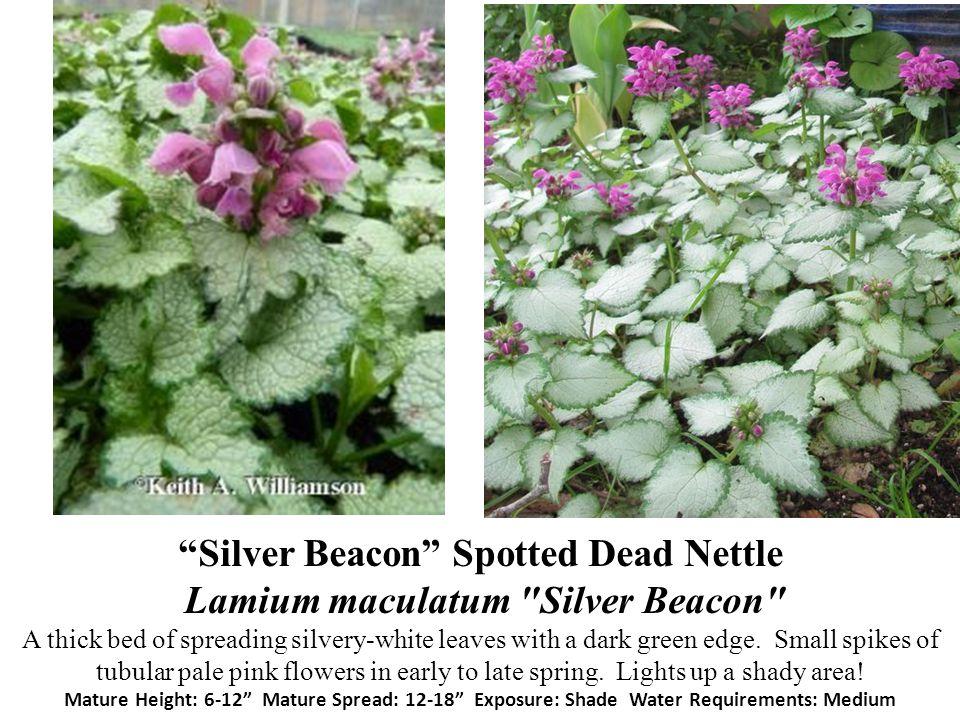 Silver Beacon Spotted Dead Nettle Lamium maculatum