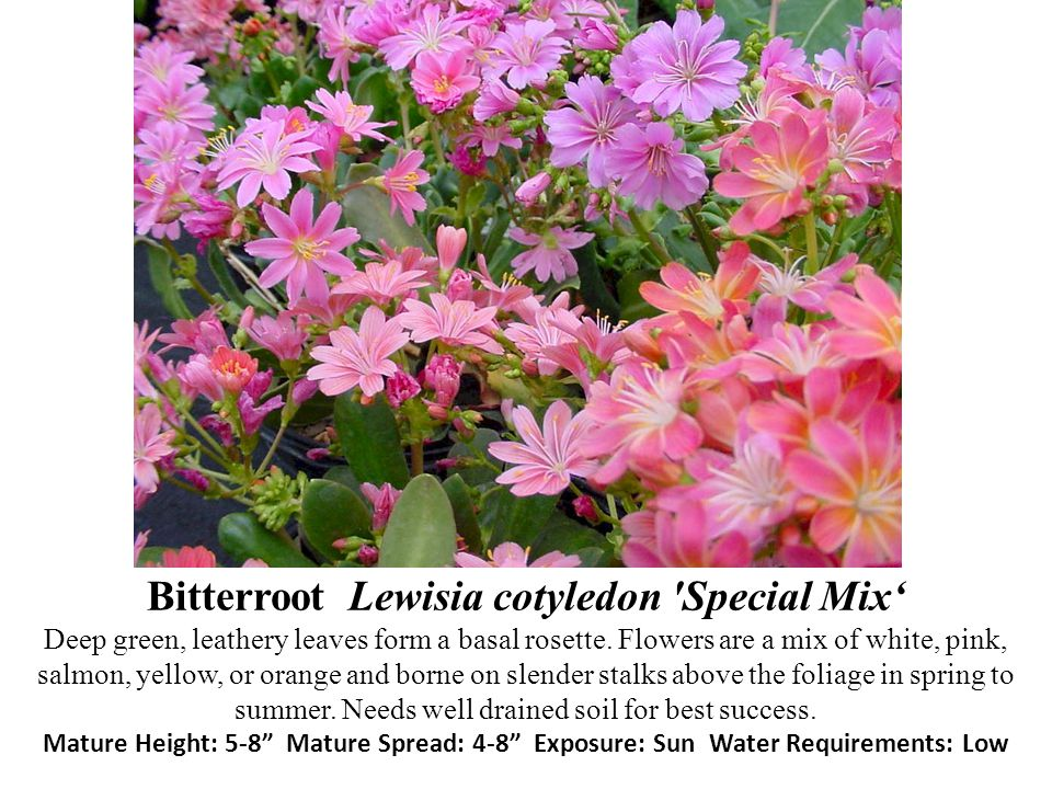 Bitterroot Lewisia cotyledon 'Special Mix Deep green, leathery leaves form a basal rosette. Flowers are a mix of white, pink, salmon, yellow, or orang