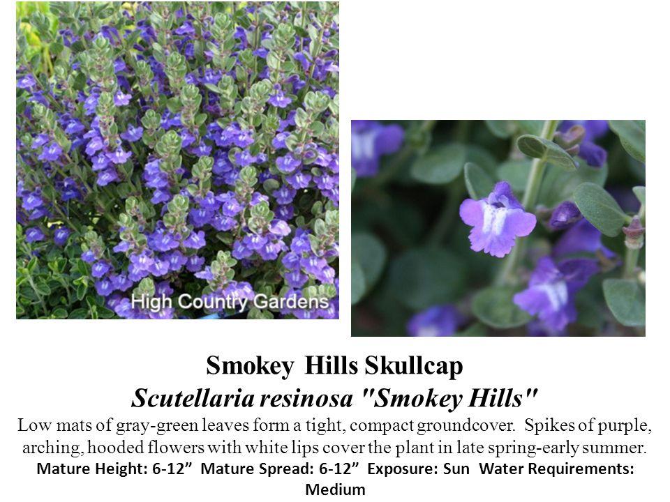 Smokey Hills Skullcap Scutellaria resinosa