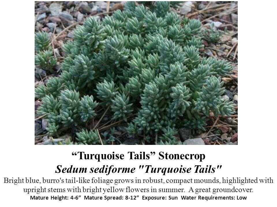 Turquoise Tails Stonecrop Sedum sediforme