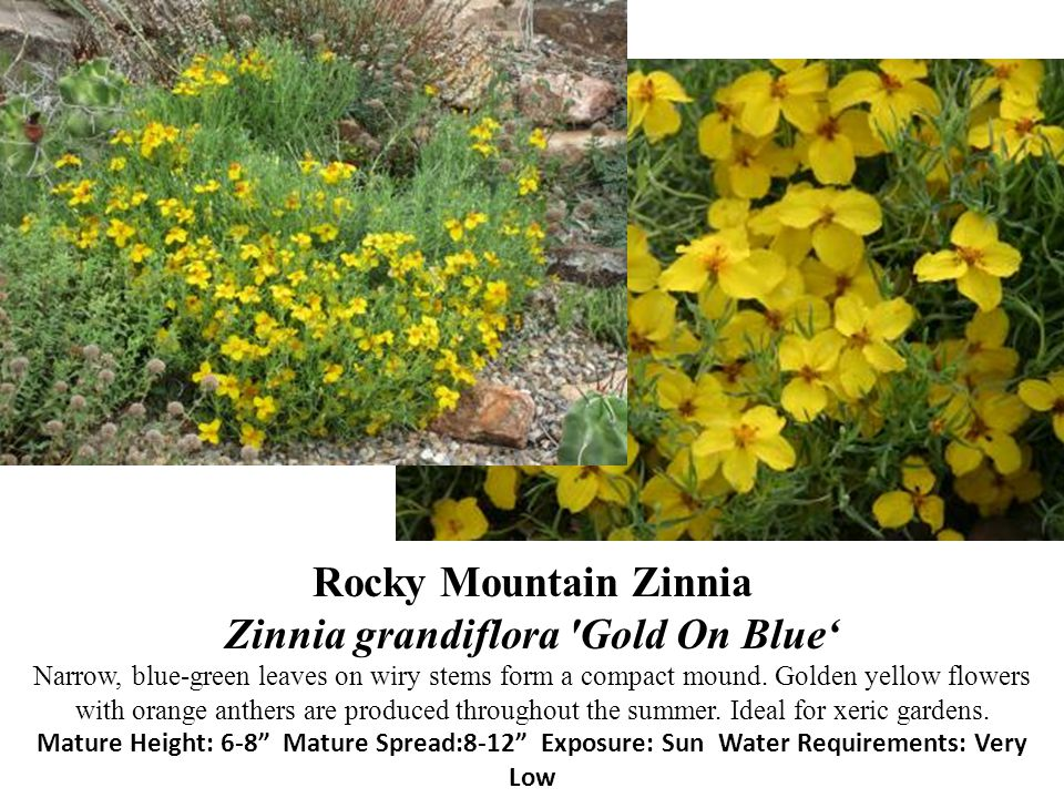 Rocky Mountain Zinnia Zinnia grandiflora 'Gold On Blue Narrow, blue-green leaves on wiry stems form a compact mound. Golden yellow flowers with orange
