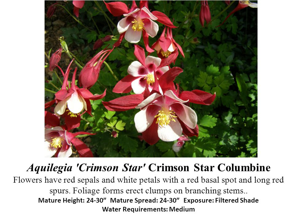 Aquilegia 'Crimson Star' Crimson Star Columbine Flowers have red sepals and white petals with a red basal spot and long red spurs. Foliage forms erect