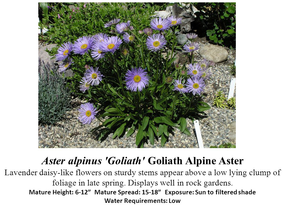 Aster alpinus 'Goliath' Goliath Alpine Aster Lavender daisy-like flowers on sturdy stems appear above a low lying clump of foliage in late spring. Dis
