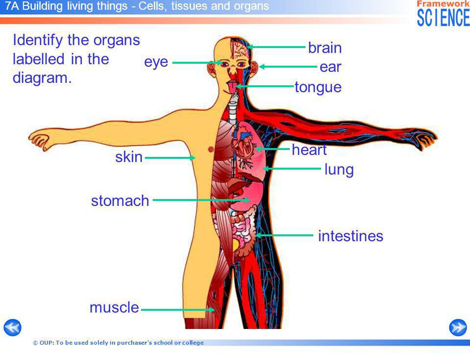 © OUP: To be used solely in purchasers school or college 7A Building living things - Cells, tissues and organs Identify the organs labelled in the diagram.