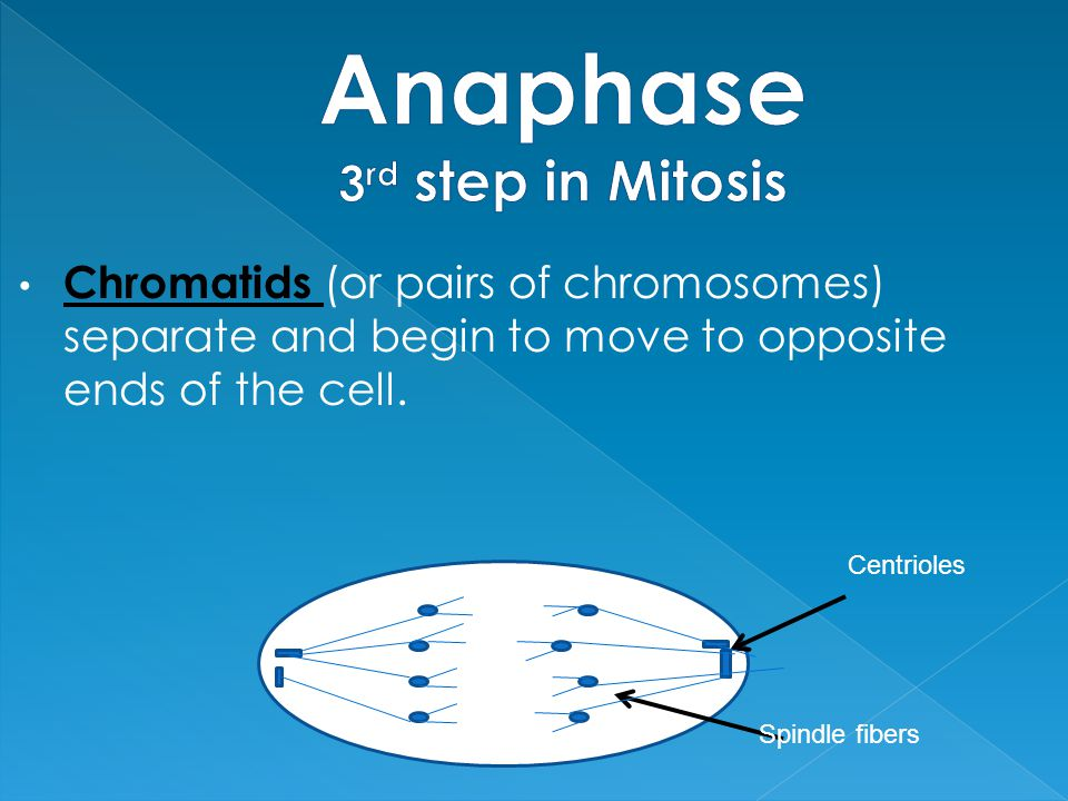 Chromatids (or pairs of chromosomes) separate and begin to move to opposite ends of the cell. Centrioles Spindle fibers