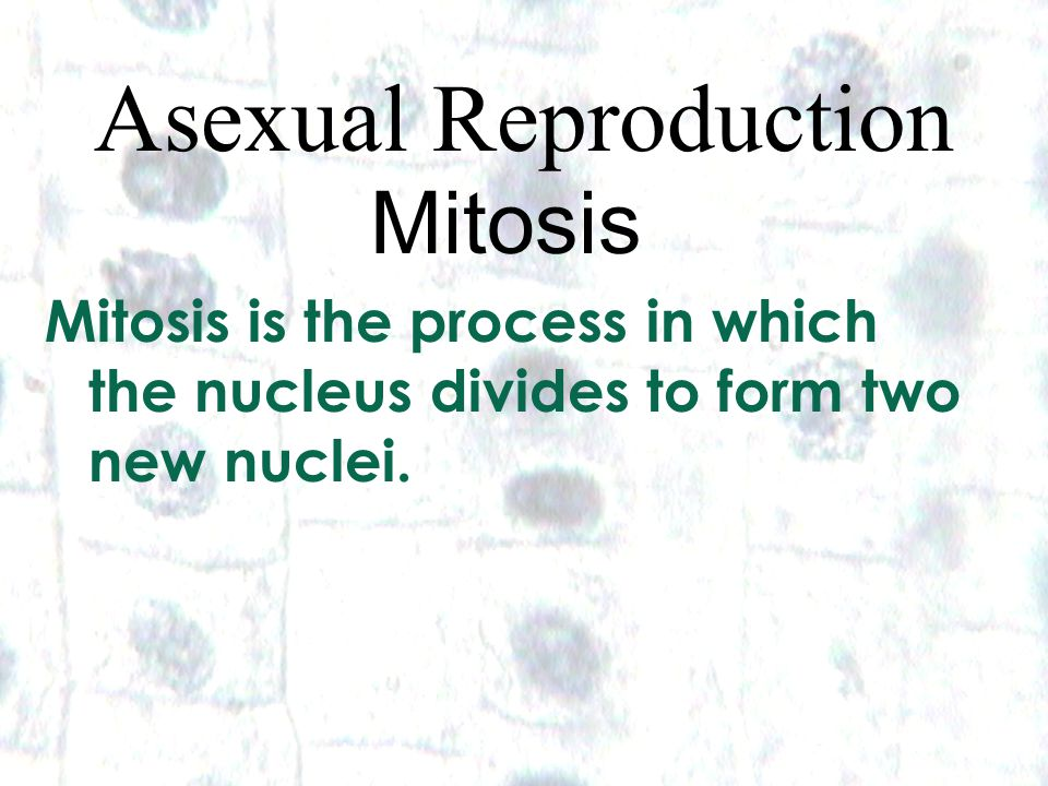 5 5 Asexual Reproduction Mitosis Mitosis is the process in which the nucleus divides to form two new nuclei.