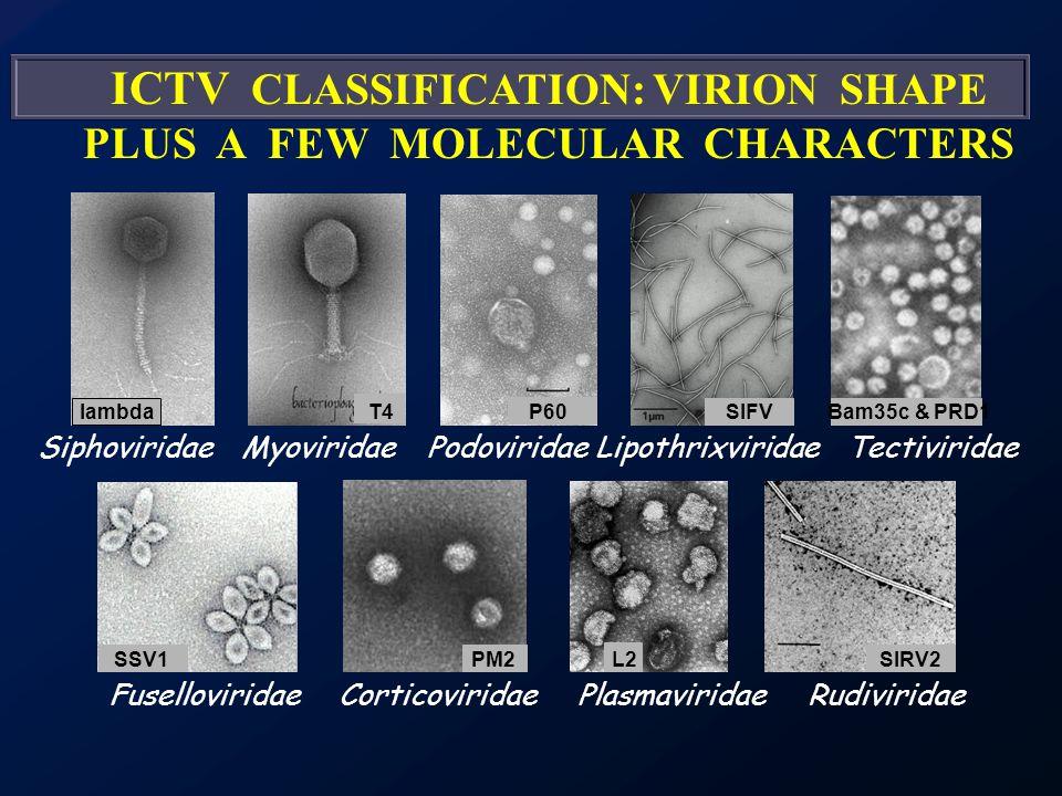 SiphoviridaeMyoviridaePodoviridaeTectiviridaeLipothrixviridae Fuselloviridae ICTV CLASSIFICATION: VIRION SHAPE PLUS A FEW MOLECULAR CHARACTERS RudiviridaeCorticoviridaePlasmaviridae lambdaT4P60SIFV SIRV2SSV1 Bam35c & PRD1 L2PM2