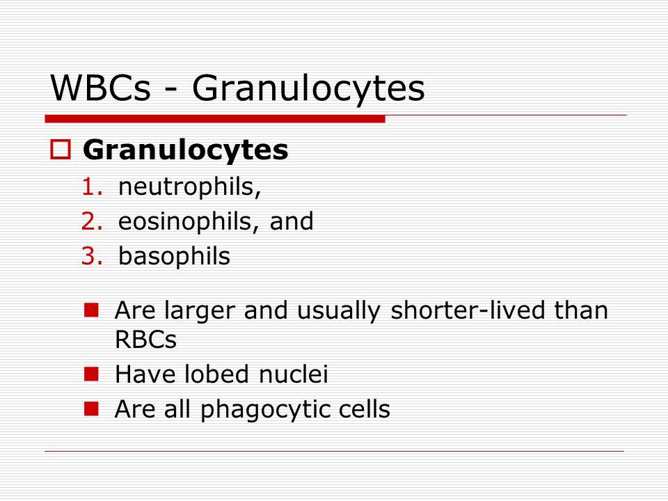 WBCs - Granulocytes Granulocytes 1.neutrophils, 2.eosinophils, and 3.basophils Are larger and usually shorter-lived than RBCs Have lobed nuclei Are al