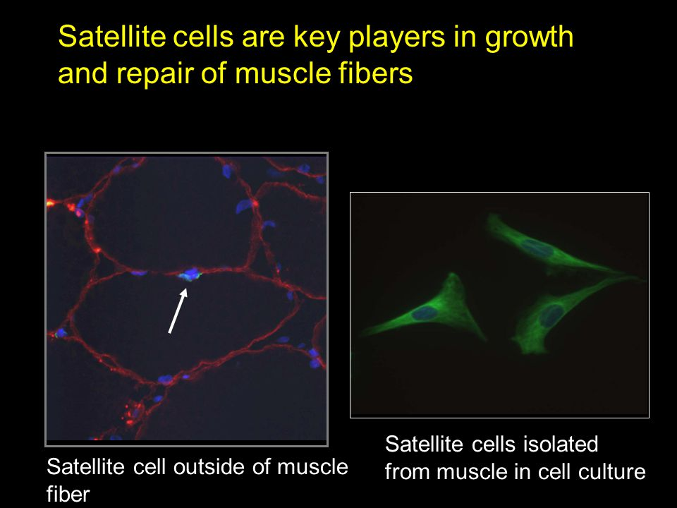 Satellite cells are key players in growth and repair of muscle fibers Satellite cell outside of muscle fiber Satellite cells isolated from muscle in cell culture
