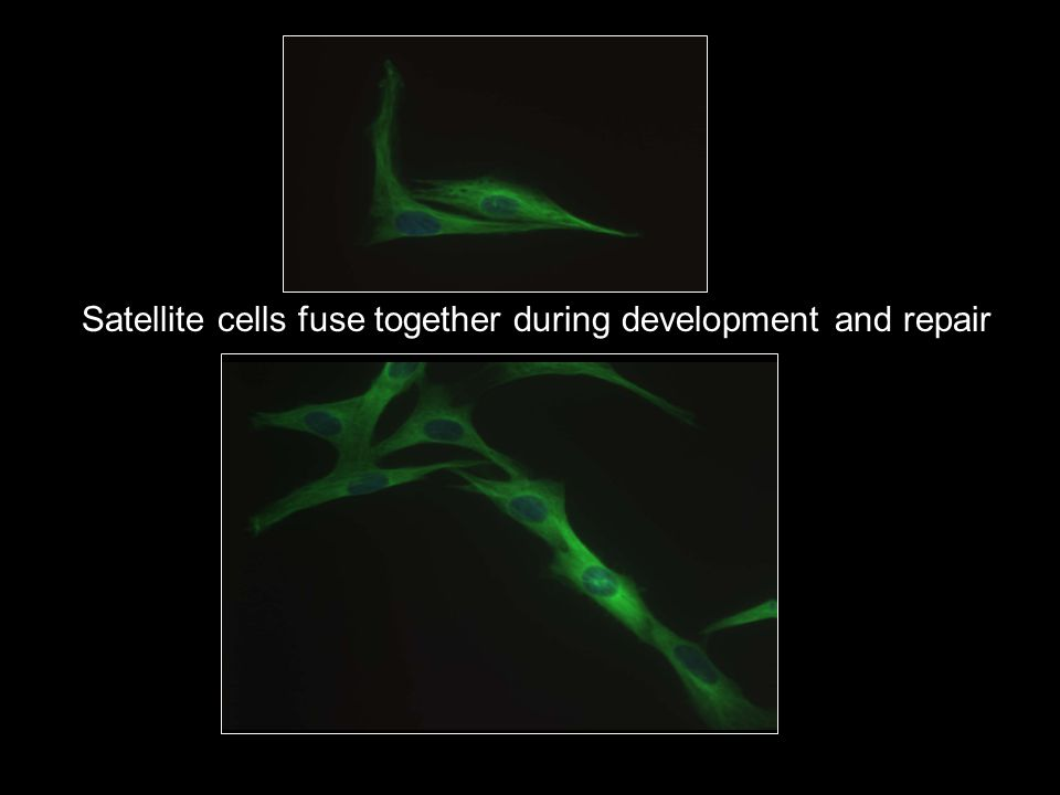 Satellite cells fuse together during development and repair