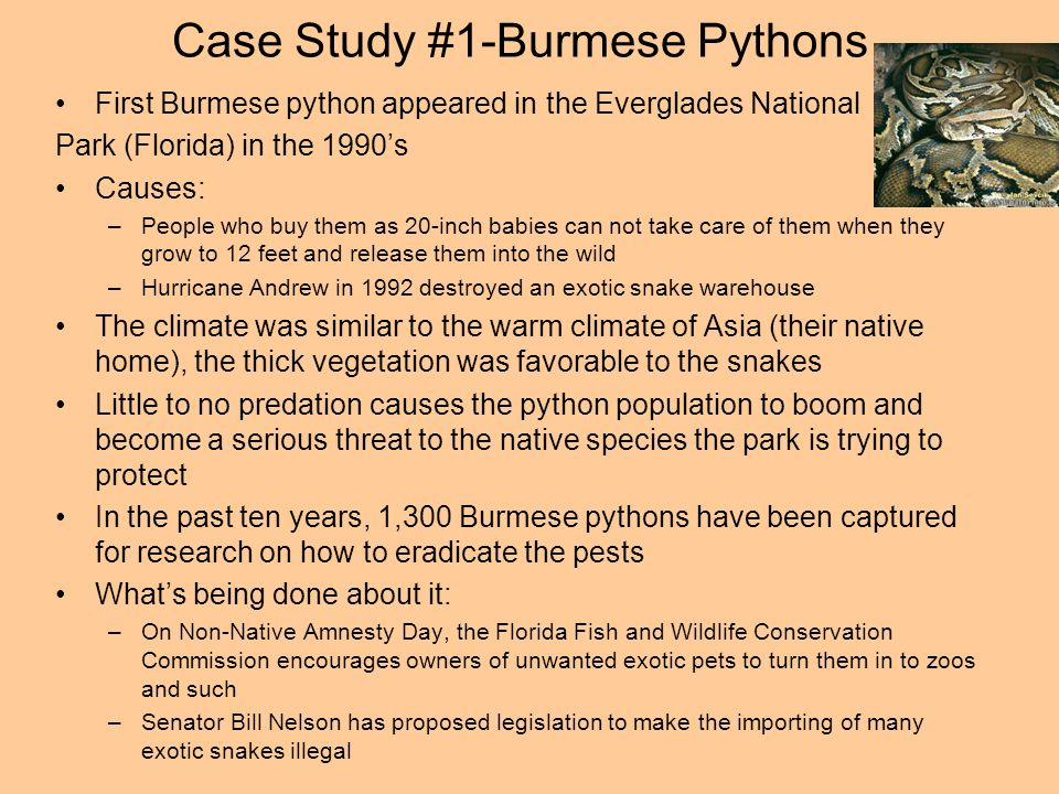 Case Study #1-Burmese Pythons First Burmese python appeared in the Everglades National Park (Florida) in the 1990s Causes: –People who buy them as 20-