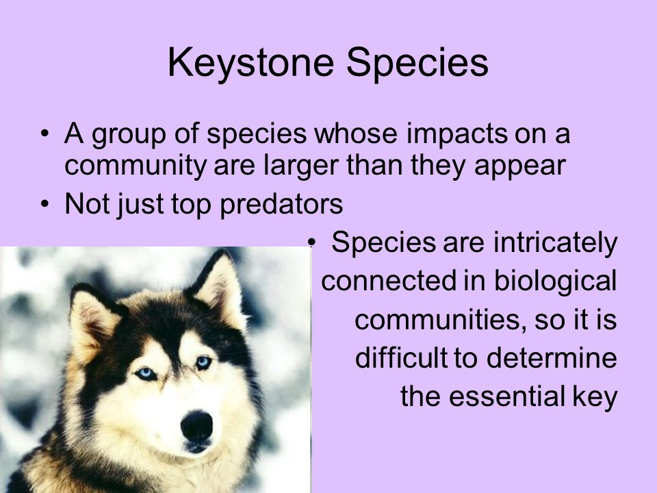 Keystone Species A group of species whose impacts on a community are larger than they appear Not just top predators Species are intricately connected