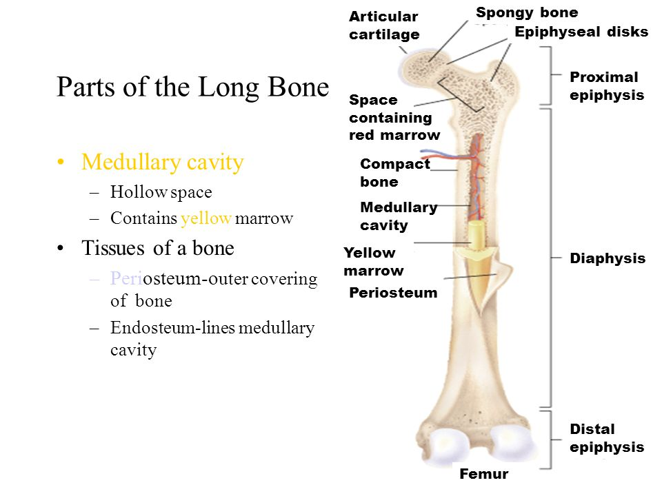 11 Parts of the Long Bone Diaphysis –Shaft or longest portion –Compact bone Hard dense part of bone that does not bend –Spongy bone Covers medullary c