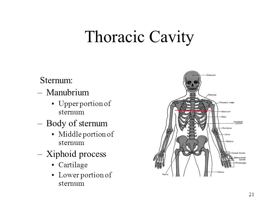 20 Thoracic cavity Ribs –12 pairs Called costals Attach posterior to thoracic vertebrae –7 pairs True ribs Attached anterior to sternum –3 pairs False