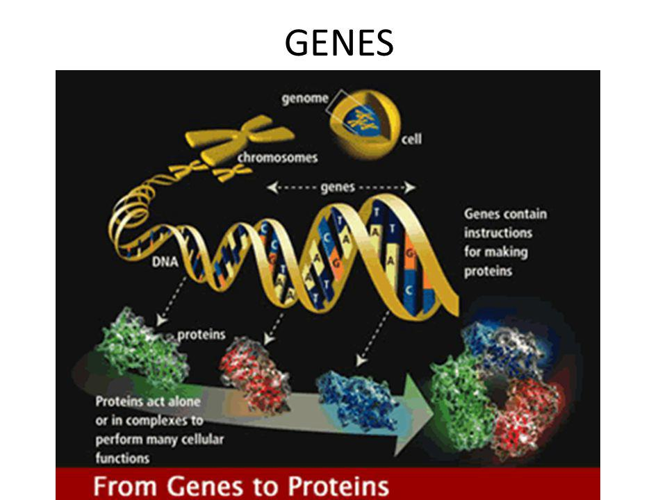 The Central Dogma Flow of genetic information in a cell – How do we move information from DNA to proteins.