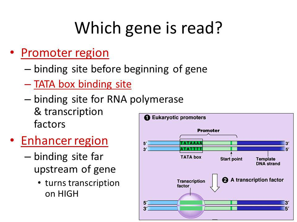 RNA polymerases 3 RNA polymerase enzymes – RNA polymerase 1 only transcribes rRNA genes makes ribosomes – RNA polymerase 2 transcribes genes into mRNA