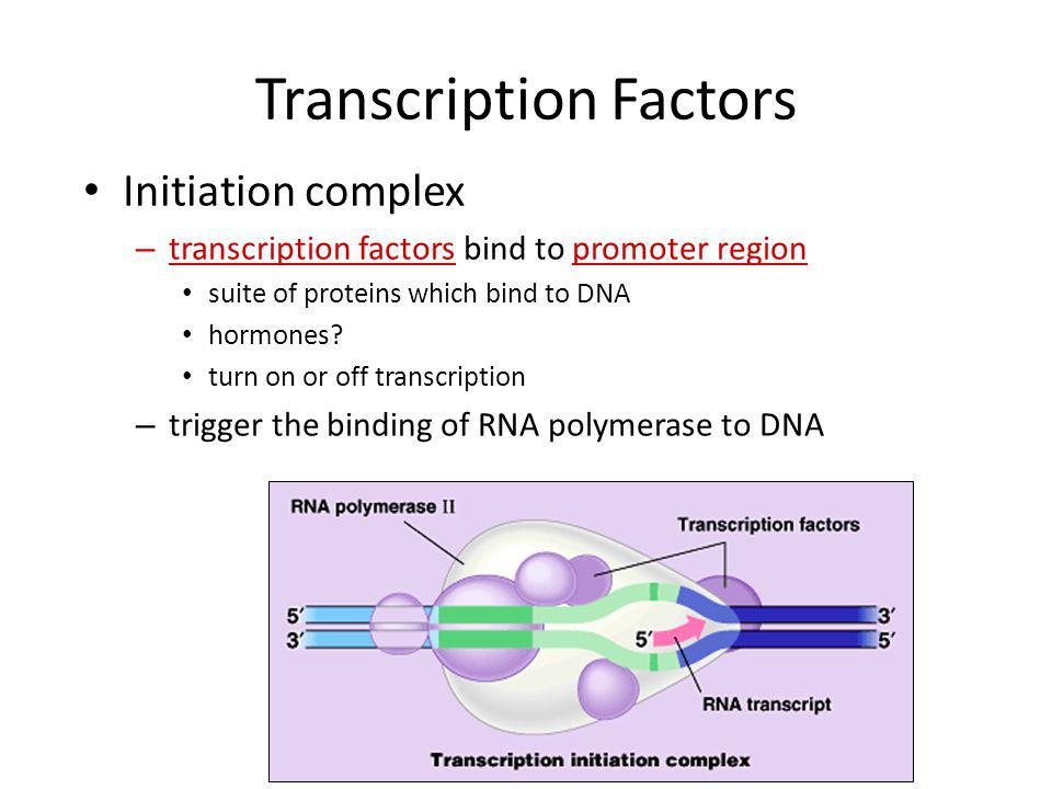 Which gene is read? Promoter region – binding site before beginning of gene – TATA box binding site – binding site for RNA polymerase & transcription