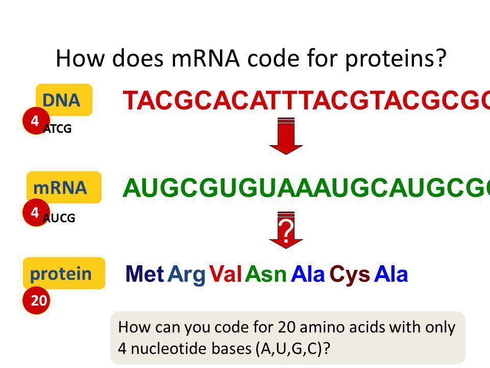 2007-2008 Translation from nucleic acid language to amino acid language