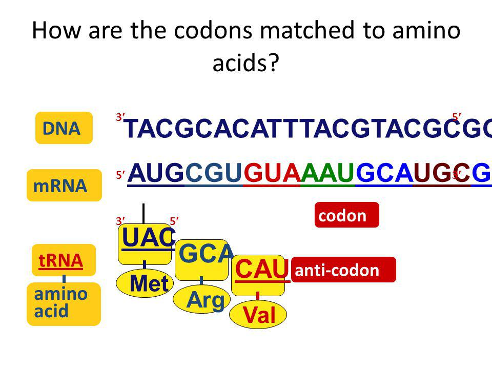 The genetic code Code for ALL life! – strongest support for a common origin for all life Code is redundant – several codons for each amino acid – 3rd