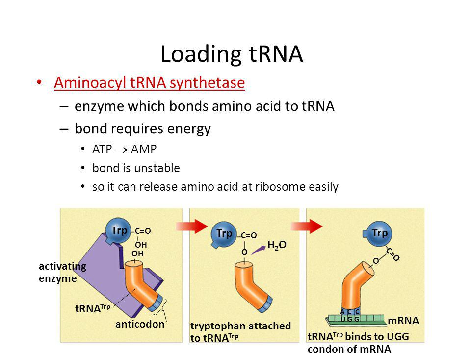 Transfer RNA structure Clover leaf structure – anticodon on clover leaf end – amino acid attached on 3 end