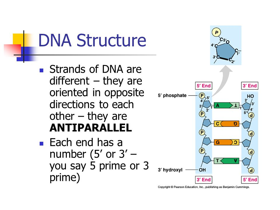 DNA Structure Strands of DNA are different – they are oriented in opposite directions to each other – they are ANTIPARALLEL Each end has a number (5 o