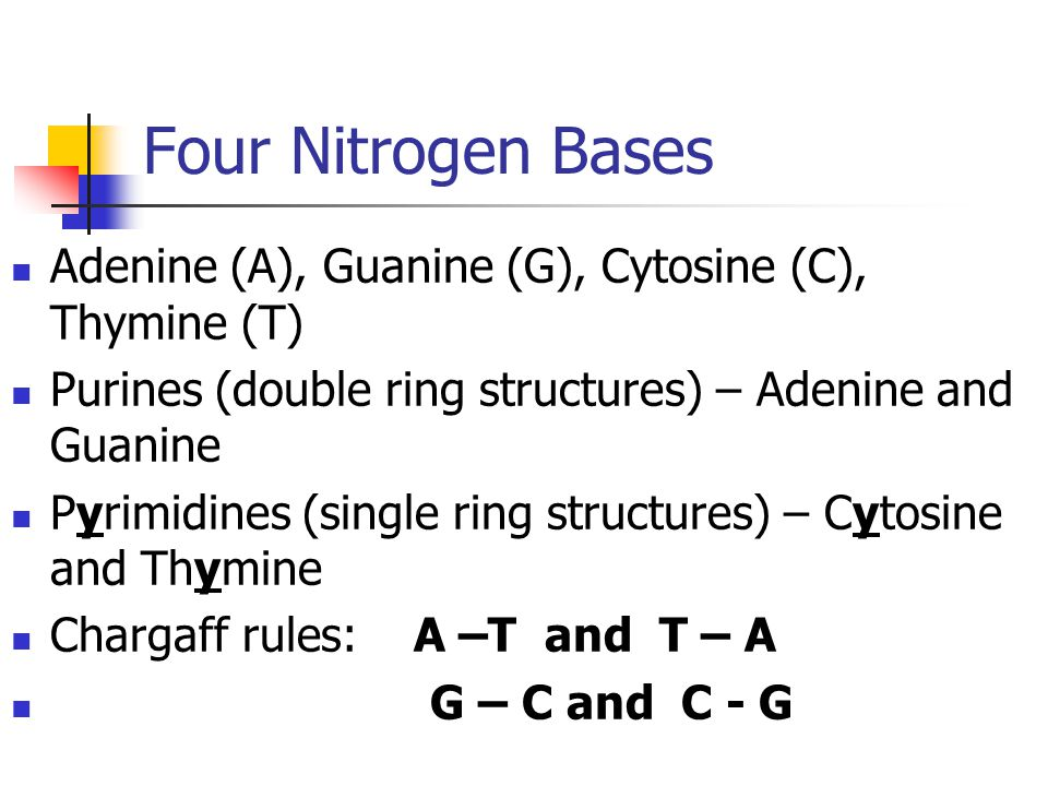 Four Nitrogen Bases Adenine (A), Guanine (G), Cytosine (C), Thymine (T) Purines (double ring structures) – Adenine and Guanine Pyrimidines (single rin