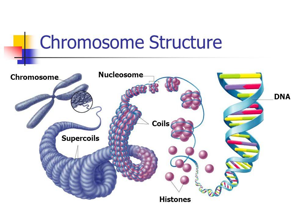 Chromosome Nucleosome Coils Supercoils Histones DNA Chromosome Structure