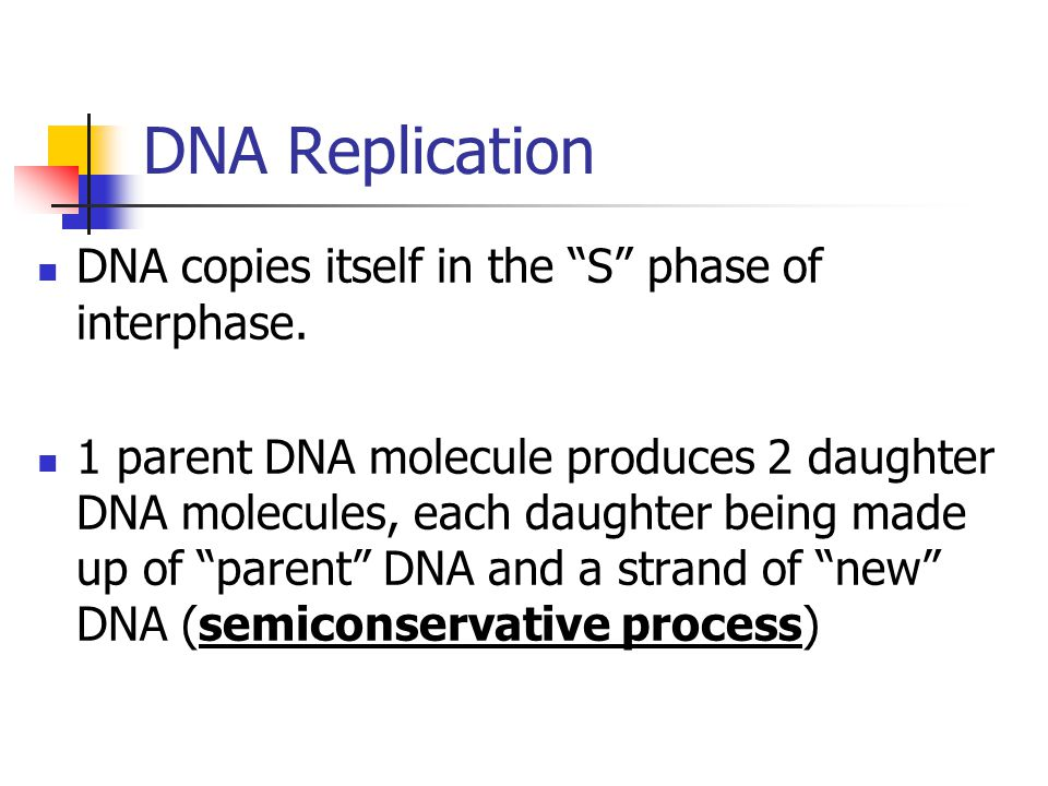 DNA Replication DNA copies itself in the S phase of interphase. 1 parent DNA molecule produces 2 daughter DNA molecules, each daughter being made up o