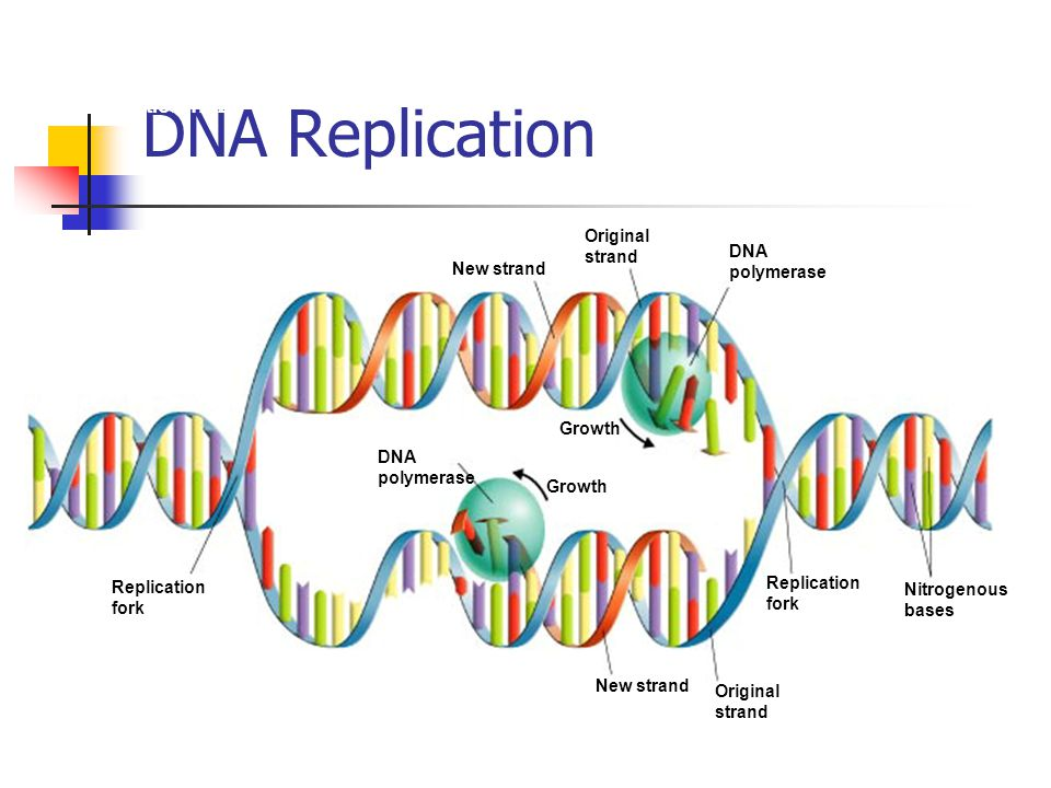 DNA Replication Section 12-2 Growth Replication fork DNA polymerase New strand Original strand DNA polymerase Nitrogenous bases Replication fork Origi