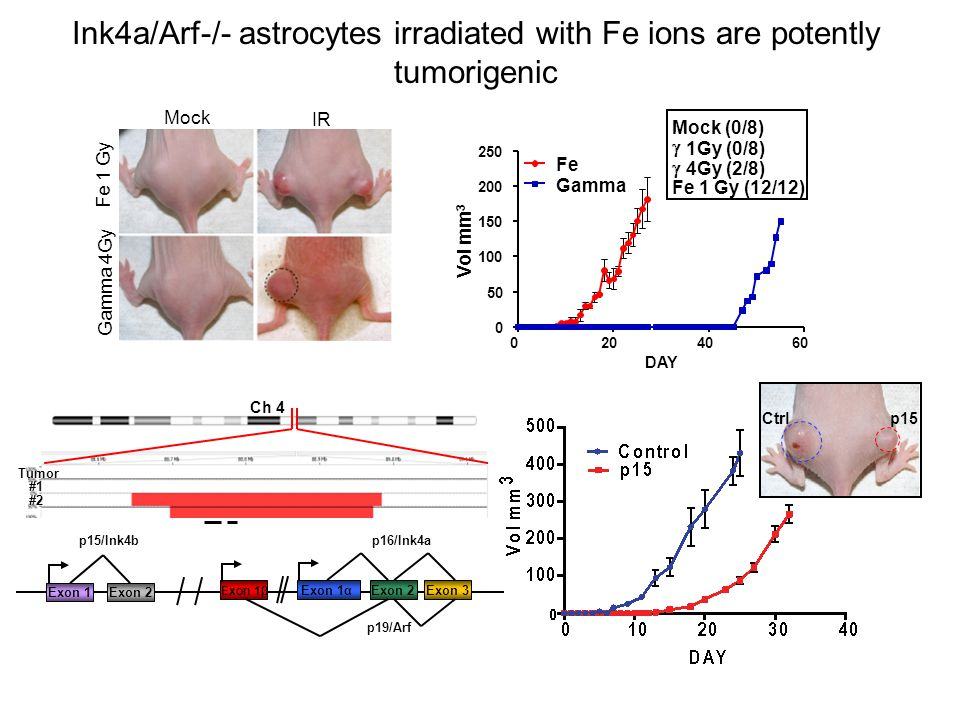 Gamma 4Gy Fe 1 Gy Mock IR Ink4a/Arf-/- astrocytes irradiated with Fe ions are potently tumorigenic Vol mm 3 Exon 1β Exon 1αExon 2Exon 3 p16/Ink4a p19/