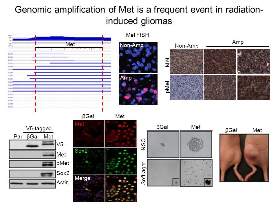 Genomic amplification of Met is a frequent event in radiation- induced gliomas Met Amp Non-Amp Met FISH Amp Non-Amp Met pMet Sox2 Actin Par βGal Met V