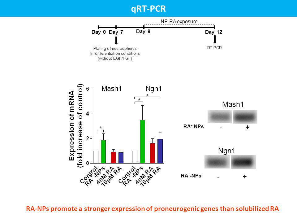 Day 0 Plating of neurospheres In differentiation conditions (without EGF/FGF) Day 7 Day 9 Day 12 RT-PCR NP-RA exposure RA-NPs promote a stronger expre