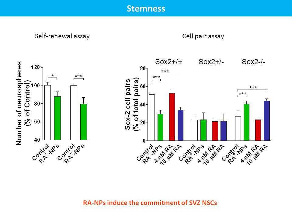 Stemness Sox2+/+Sox2+/-Sox2-/- Self-renewal assayCell pair assay RA-NPs induce the commitment of SVZ NSCs