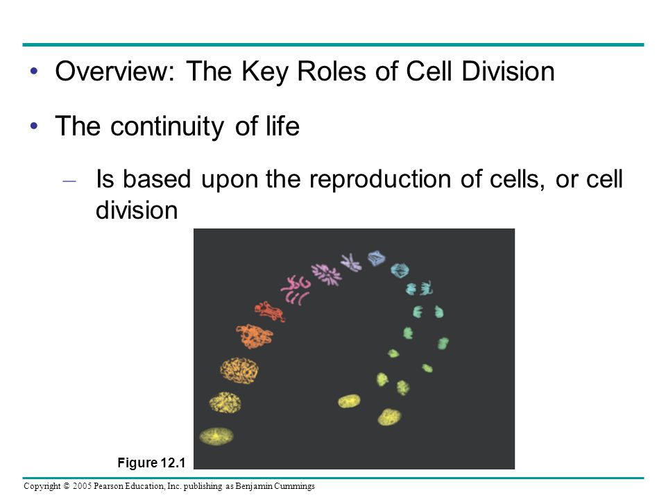 Copyright © 2005 Pearson Education, Inc. publishing as Benjamin Cummings Overview: The Key Roles of Cell Division The continuity of life – Is based up