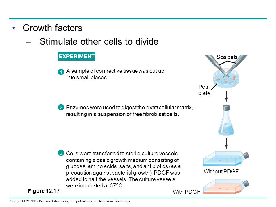 Copyright © 2005 Pearson Education, Inc. publishing as Benjamin Cummings Growth factors – Stimulate other cells to divide EXPERIMENT A sample of conne