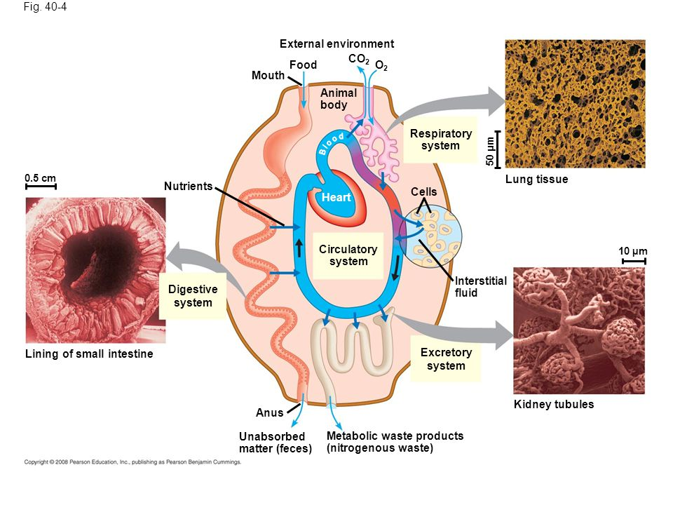 Fig. 40-4 0.5 cm Nutrients Digestive system Lining of small intestine Mouth Food External environment Animal body CO 2 O2O2 Circulatory system Heart R