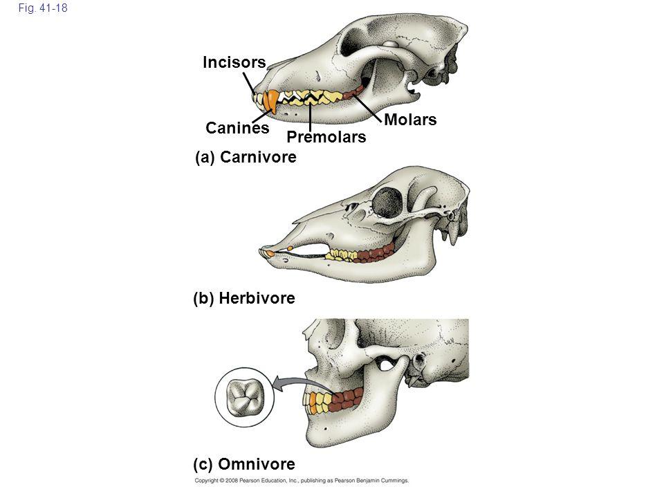 Fig. 41-18 Incisors (c) Omnivore Molars (b) Herbivore (a) Carnivore Canines Premolars
