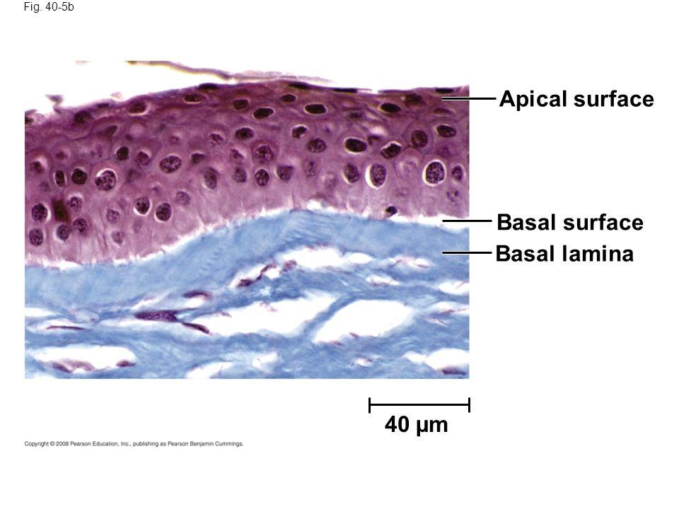 Fig. 40-5b Apical surface Basal surface Basal lamina 40 µm