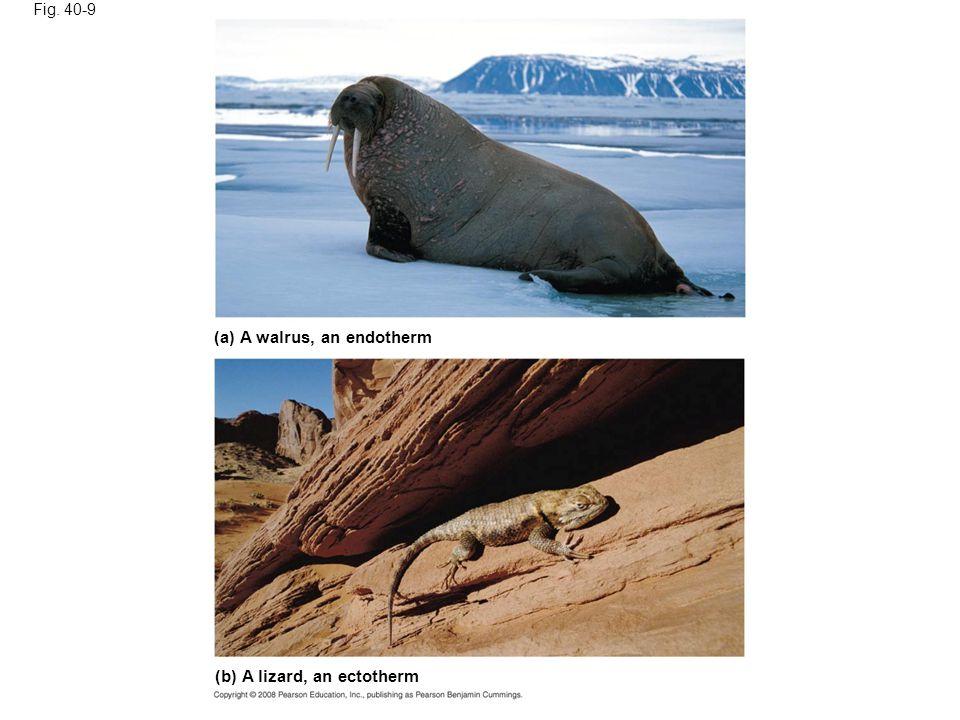 Fig. 40-9 (a) A walrus, an endotherm (b) A lizard, an ectotherm