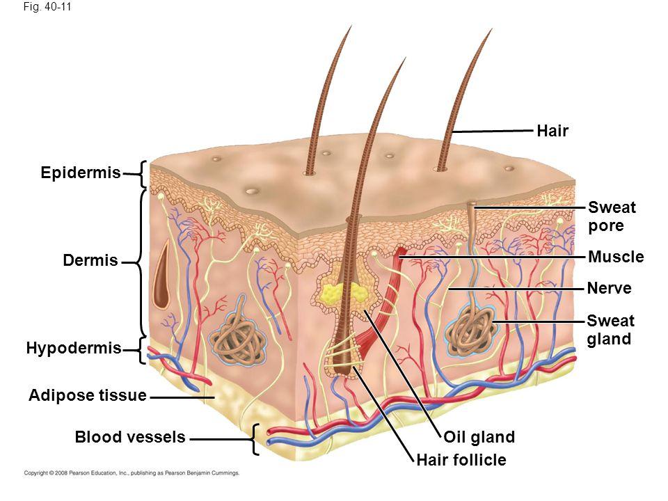 Fig. 40-11 Epidermis Dermis Hypodermis Adipose tissue Blood vessels Hair Sweat pore Muscle Nerve Sweat gland Oil gland Hair follicle